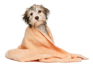 dog_towel_wrapped